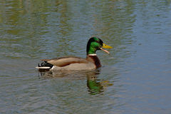 Swimming male duck with open beak -  Anas platyrhynchos Royalty Free Stock Image