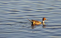Swimming male Pintail duck, (Anas acuta) Royalty Free Stock Images