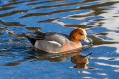 Swimming male wigeon anas penelope, reflections stock photo