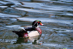 Swimming Male Wood Duck Swimming. In a pond Stock Images