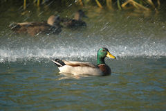 Swimming mallard duck. Close-up Royalty Free Stock Photo