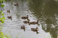 Swimming mallard females in the pond. Numerous female mallards swimming in small waters - wild ducks Royalty Free Stock Image