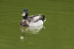 Swimming mallard royalty free stock photo