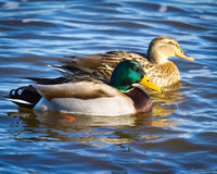Swimming Mallard Pair. Paired mallard ducks are swimming on the blue water of the Mississippi with sparkles in their eyes in this close-up shot depicting the Royalty Free Stock Image