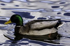 Swimming Mallard  / Wild Duck in Bedfont Lakes Country Park. London, United Kingdom Stock Image