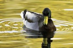 Swimming Mallard  / Wild Duck during sunset Royalty Free Stock Images