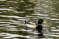 Swimming Mallard - Wild Duck /UK. Swimming Mallard - Wild Duck / United Kingdom Royalty Free Stock Photo