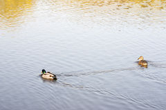Swimming mallards. Pair of mallards swimming on a lake Stock Photography