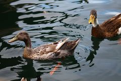 Swimming mallards. Two mallards can be drifted on the calm water Stock Photography