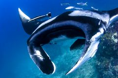 Swimming Manta Ray underwater in the ocean Stock Photo