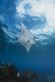Swimming Manta Ray under water on blue background. In the ocean with scuba diver in foreground Stock Photo