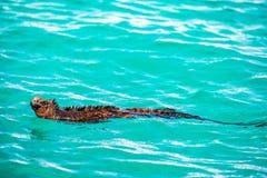 Swimming Marine Iguana Royalty Free Stock Photos