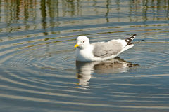 Swimming Mew Gull. Adult Mew Gull Swimming In Calm Water royalty free stock photo