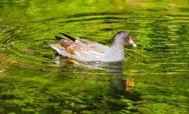 Swimming Moorhen Royalty Free Stock Images
