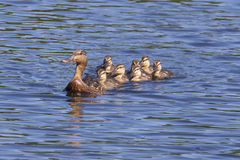 Swimming with Mother Duck. A mother mallard duck swimming with her ducklings on a pond Royalty Free Stock Photo