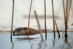 Swimming Muskrat Stock Image