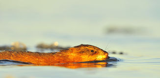 Swimming Muskrat Stock Photos
