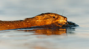 Swimming muskrat Stock Images