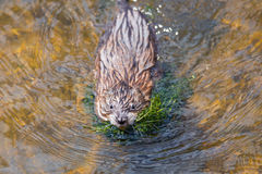 Swimming Muskrat Stock Image