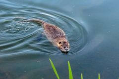 Swimming muskrat in a pond near Hillsboro, Oregon royalty free stock images