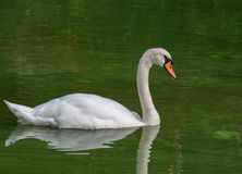 Swimming Mute swan (Cygnus olor) Royalty Free Stock Photo