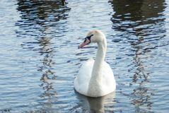 Swimming mute swan framed by reflections of sailboats on the wat stock photos