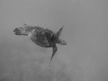 Swimming With Natures Beauties. Waikiki Beach, Oahu Hawaii, swimming with turtles. Taken by gopro hero3 Royalty Free Stock Image