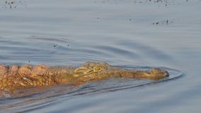Swimming nile crocodile Stock Photos