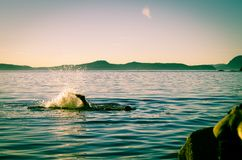 Swimming in the ocean. Man swimming in the ocean off of Pender Island near Vancouver Island, British Columbia, Canada Royalty Free Stock Photography