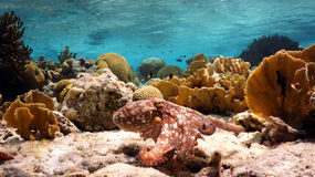 Swimming octopus. A well camouflaged octopus swimming along the reef to its new hiding spot royalty free stock images