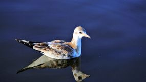 Swimming One Seagull In Natural Lake. Freedom Of Living. One gull Swimming On Natural Blue Lake Happiness And Freedom of wildlife In summertime.Germany royalty free stock images