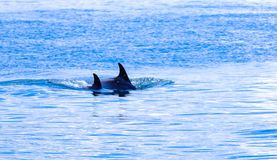 Swimming orcas in blue waters