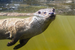 Swimming otter (Lutra lutra) Stock Photos