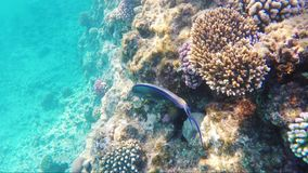 Swimming over the coral reef of the Red Sea.  stock footage