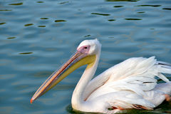 Swimming pelican Stock Photo