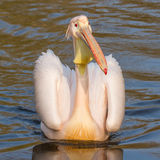 A swimming pelican Royalty Free Stock Photography
