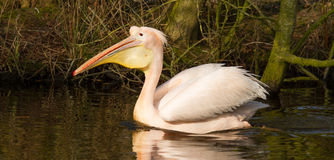 A swimming pelican Royalty Free Stock Images