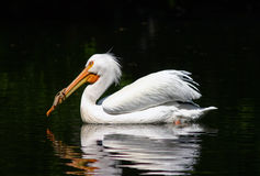 Swimming Pelican. Pelican reflected in the water Stock Photo