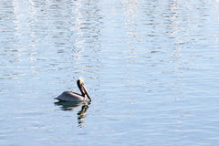 Swimming Pelican Royalty Free Stock Photo