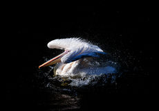 Swimming pelican Stock Photography