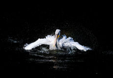 Swimming pelican Royalty Free Stock Photography