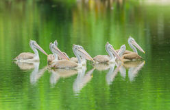 Swimming Pelican bird group Stock Photo