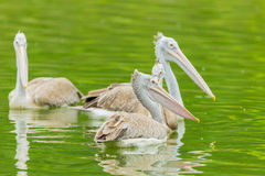 Swimming Pelican bird Stock Photos