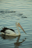 Swimming pelican at sunset. Swimming pelican bird at sunset Royalty Free Stock Photo