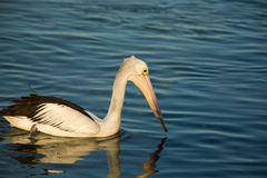 Swimming pelican at sunset. Swimming Pelican bird at sunset on the shore Royalty Free Stock Photo