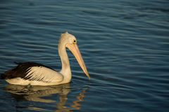 Swimming pelican at sunset. Swimming Pelican bird at sunset on the shore Stock Photography