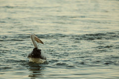 Swimming pelican at sunset. Swimming Pelican bird at sunset on the shore Stock Photos