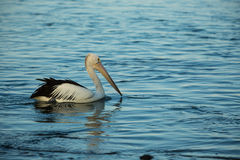Swimming pelican at sunset. Swimming Pelican bird at sunset on the shore Royalty Free Stock Photography