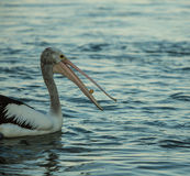 Swimming pelican at sunset eating food. Swimming Pelican bird at sunset on the shore catching food with his long beak Royalty Free Stock Photo