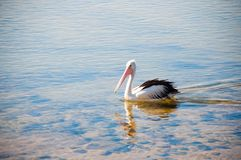 Swimming Pelican stock photos